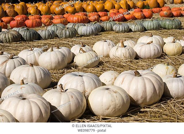 Rows of pumpkins, including white or ghost pumpkins, green pumpkins, red and orange pumpkins, on sale at a pumpkin farm for Halloween