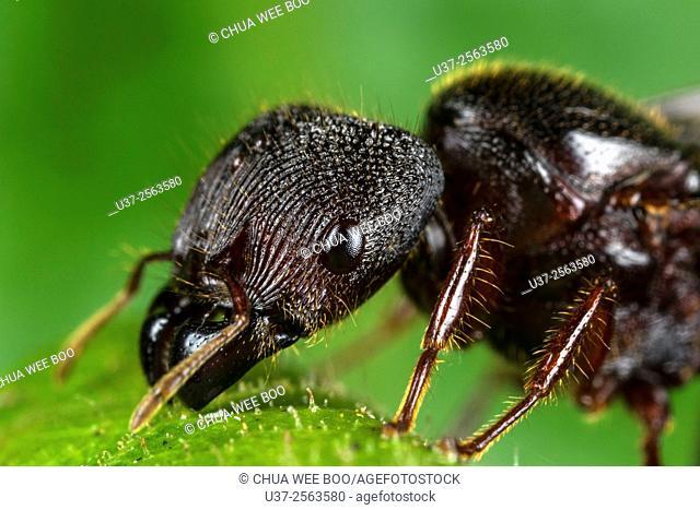 Black ant. Image taken at Kampung Skudup, Sarawak, Malaysia