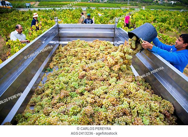Winemaking in the largest wine region of Catalonia, Penedes; Barcelona, Spain