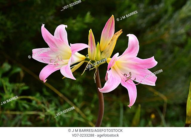 Belladonna lily (Amaryllis belladonna) is an ornamental perennial herb native to South Africa. Flowers detail