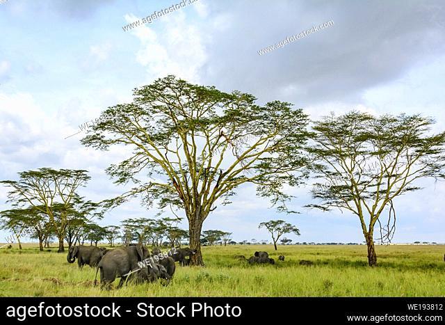 African Bush Elephant (Loxodonta africana) and Fever Tree (Vachellia xanthophloea prev Acacia xanthophloea). Serengeti National Park. Tanzania