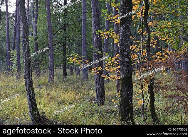 feuillage automnal de l'alisier torminal, foret de Rambouillet, departement des Yvelines, region Ile de France, France, Europe/autumn foliage of checker tree...