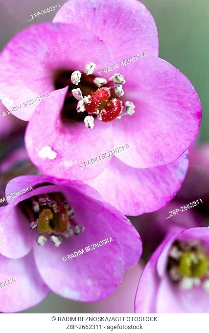 Bergenia Cordifolia spring Flowers