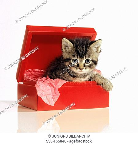 young domestic cat in red box