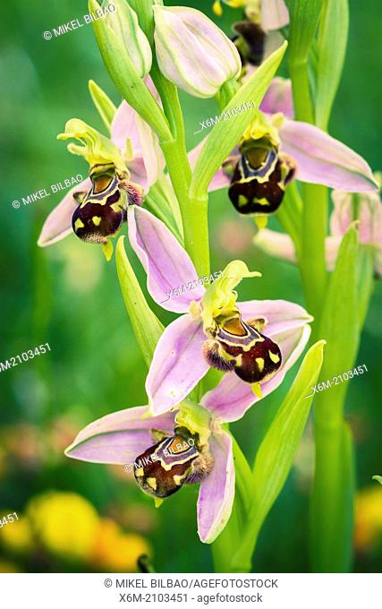 Bee orchid flowers (Ophrys apifera). Aldeacueva. Carranza valley. Biscay, Basque Country, Spain