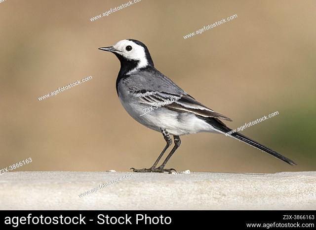 White Wagtail (Motacilla alba), side view of an adult male standing on a wall, Abruzzo, Italy