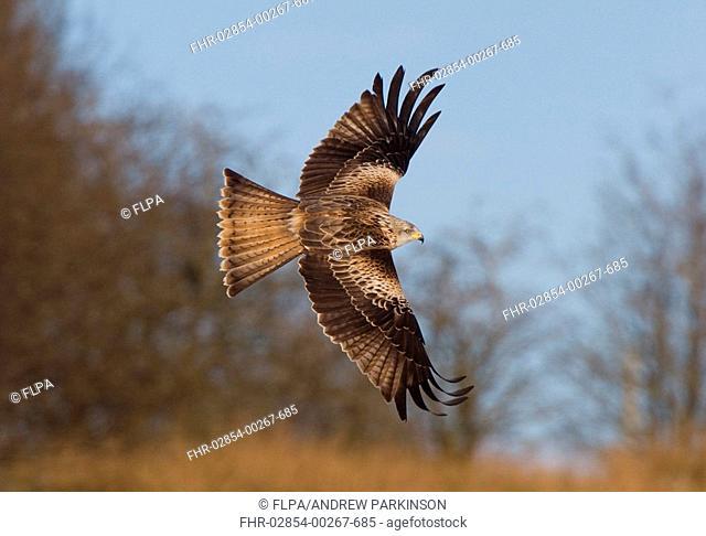 Red Kite Milvus milvus adult, in flight, banking, Powys, Wales, february