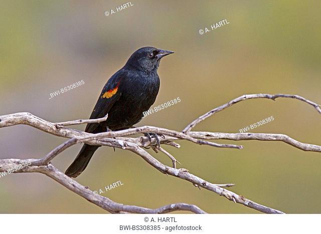 red-winged blackbird (Agelaius phoeniceus), male sitting on a dry branch, USA, Arizona