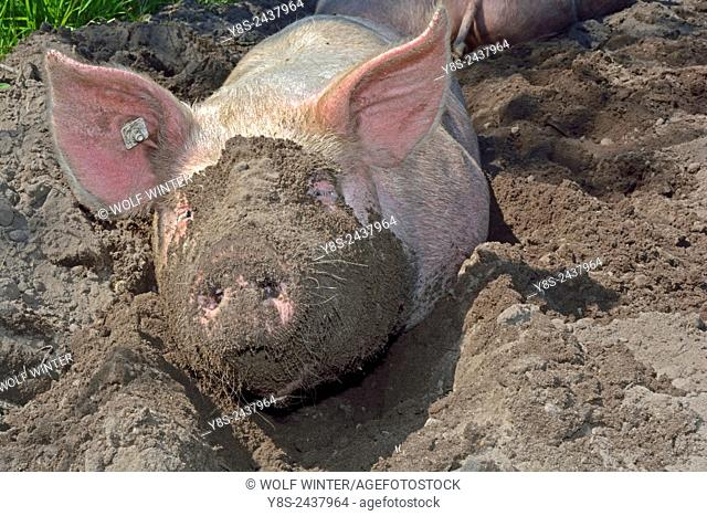 Pig Breeding