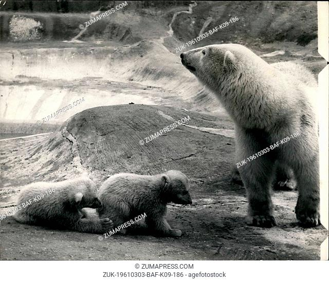 Mar. 03, 1961 - Whipsnade zoo bear cubs on show to the public. Mother on guard while babies play. The Polar Bear Cubs female twins Aurora and Polaris - born on...