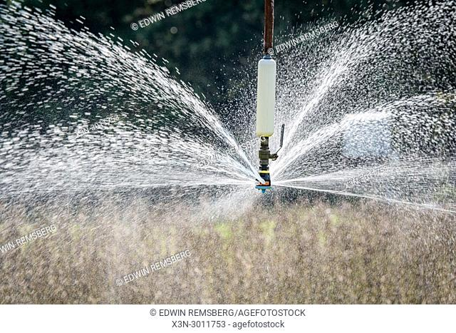 Water spraying out of sprinkler head of irrigation system as it waters field of soybeans, Tifton, Georgia. USA