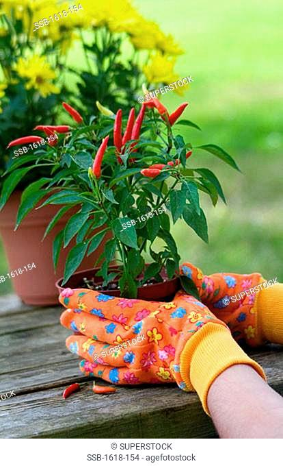 Close-up of a person's hand holding a potted plant of red chili peppers