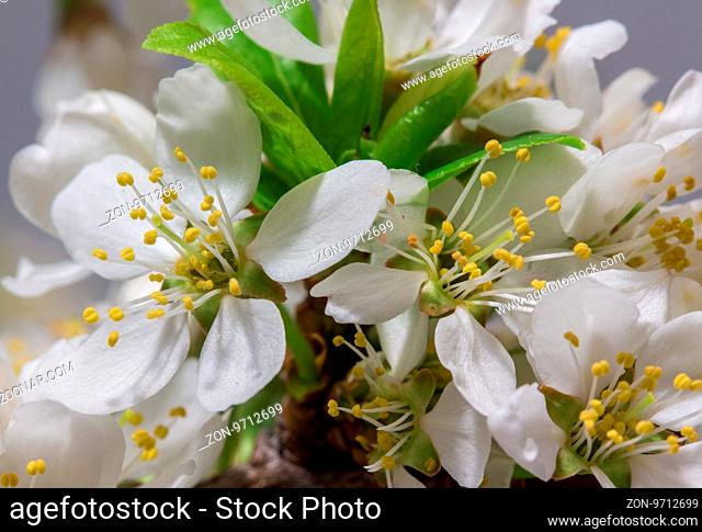 Spring Cherry Blossom Background, Abstract Floral Border Of Blossoming Tree Brunch With Green Leaves And White Flower On Bokeh Green Background, Mother's Day