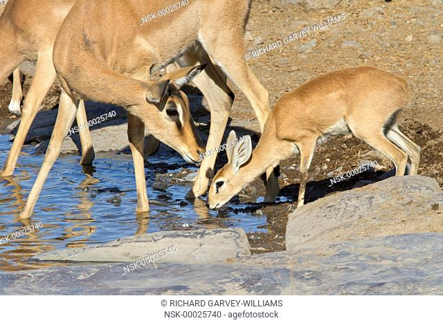Black-faced impala (Aepyceros melampus petersi) doe looking at a female Steenbok (Raphicerus campestris) drinking beside it at a waterhole, Namibia