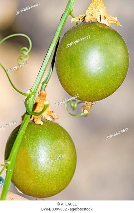 passion fruit, granadilla (Passiflora edulis), young fruits