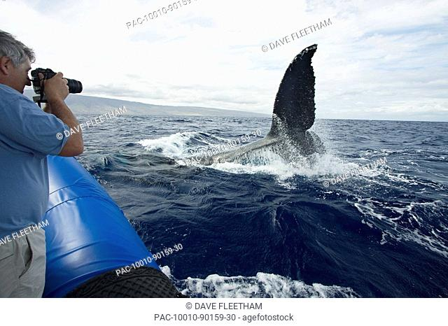 Hawaii, Maui, Lahaina, A photograher on a whale watching boat out of got a close up look at the tail of a humpback whale Megaptera novaeangliae