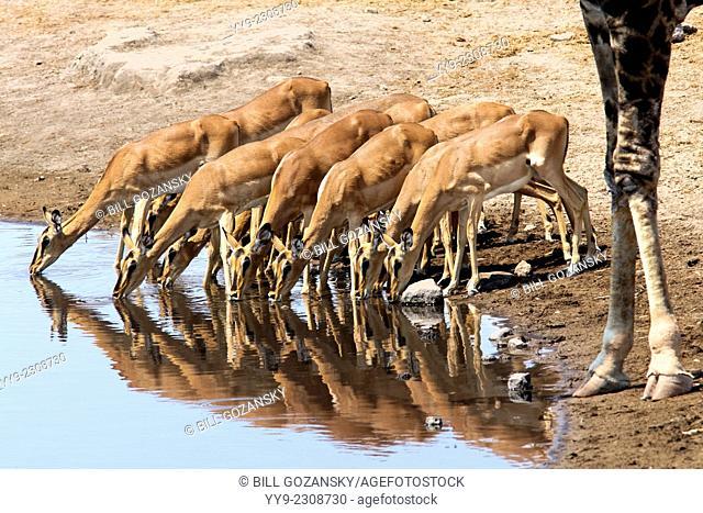 Black-faced Impala drinking at Chudob Waterhole - Etosha National Park, Namibia, Africa