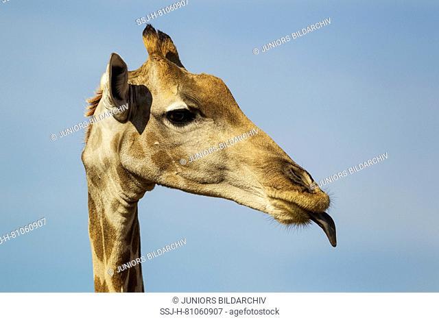 Southern Giraffe (Giraffa giraffa) female sticking out its tongue