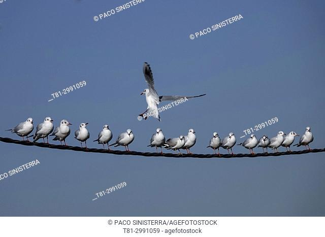 Seagulls on telephone wires, Valencia