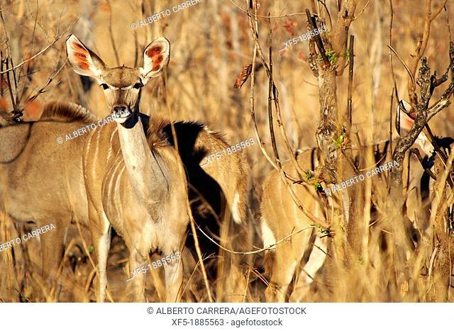 Female Kudu, Tragelaphus strepsiceros, Chobe National Park, Kasane, Botswana, Africa