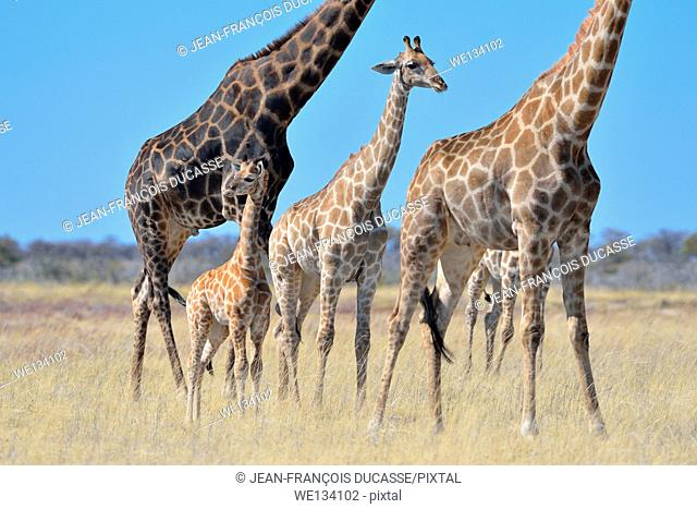 Giraffes (Giraffa camelopardalis), adults, young and baby, standing in dry grass, Etosha National Park, Namibia, Africa