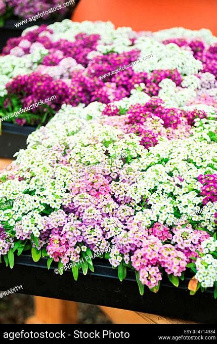 Alyssum flowers. Alyssum in sweet colors. Alyssum in a black tray on wood table, in a dense grounding in a greenhouse