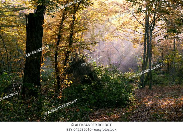 Sunbeam entering rich deciduous forest in misty morning with old birch tree in foreground, Bialowieza Forest, Poland, Europe