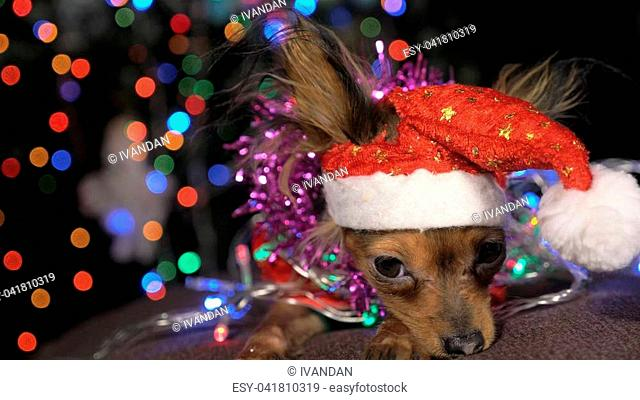 The Toy Terrier is a yellow New Year's dog. A funny dog in a Christmas cap lies and looks around. He falls asleep and wakes up