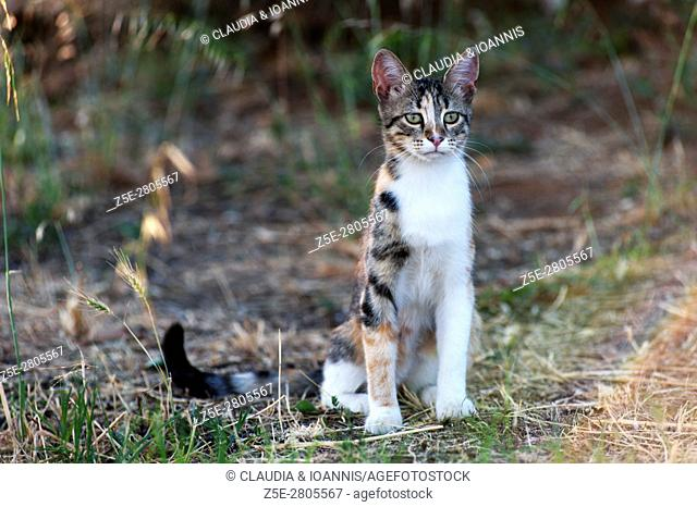 Calico cat sitting outdoors and looking attentive