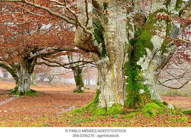 Beech wood. Entzia natural park, near Andoin, Alava, Spain