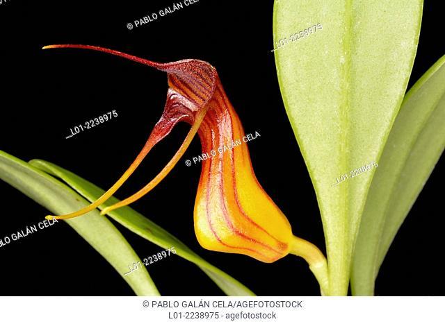 Masdevallia filaria (orquídea de los Andes)
