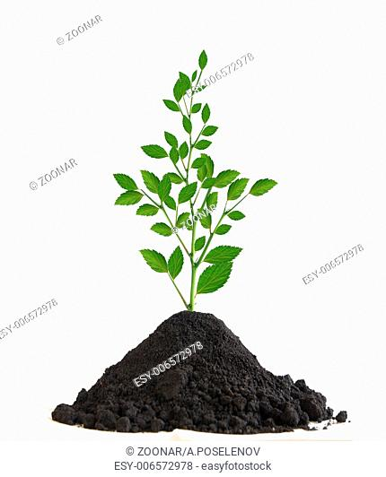 Young tree grows from the earth