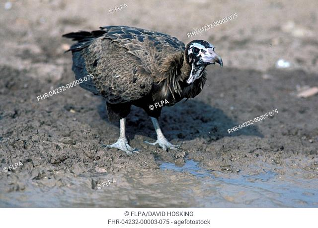 Hooded Vulture Mecrosyrtes monachus Close-up / standing on mud at waters' edge