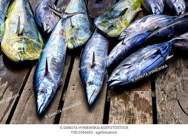 fishes caught in deep Indian Ocean - Wahoo - Acanthocybium solandri, Skipjack tuna or Oceanic Bonito - Katsuwonus pelamis
