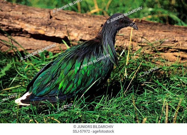 Nicobar Pigeon / Caloenas nicobarica
