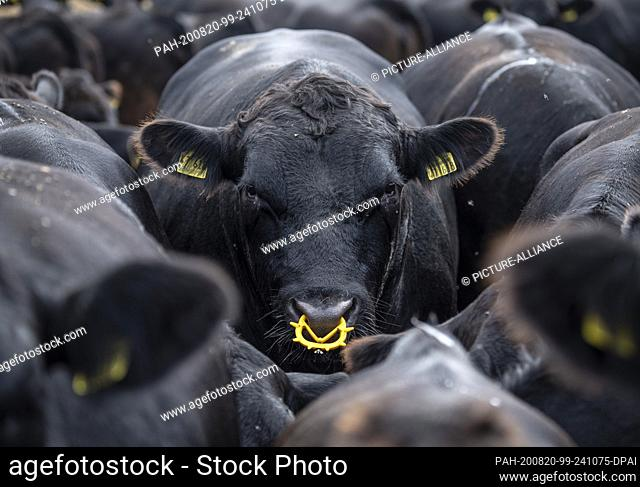 20 August 2020, Hessen, Anspach: Angus cattle stand close together at temperatures of 30 degrees on their pasture in the Taunus