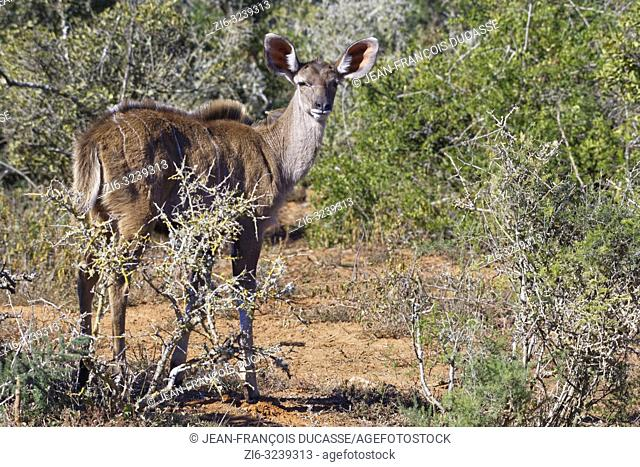 Greater kudu (Tragelaphus strepsiceros), young, standing among thorny shrubs, alert, Addo Elephant National Park, Eastern Cape, South Africa, Africa