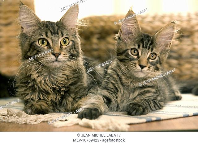 Cats - Maine Coon - Two lying down together