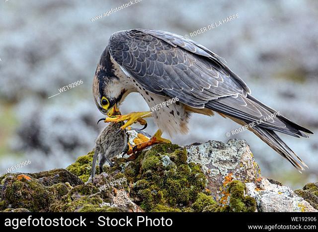 Lanner Falcon (Falco biarmicus). Bale Mountains National Park. Ethiopia