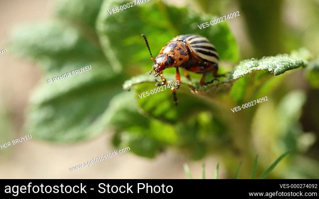 Two Colorado Striped Beetles - Leptinotarsa Decemlineata. This Beetle Is A Serious Pest Of Potatoes. Reproduction Of Insects