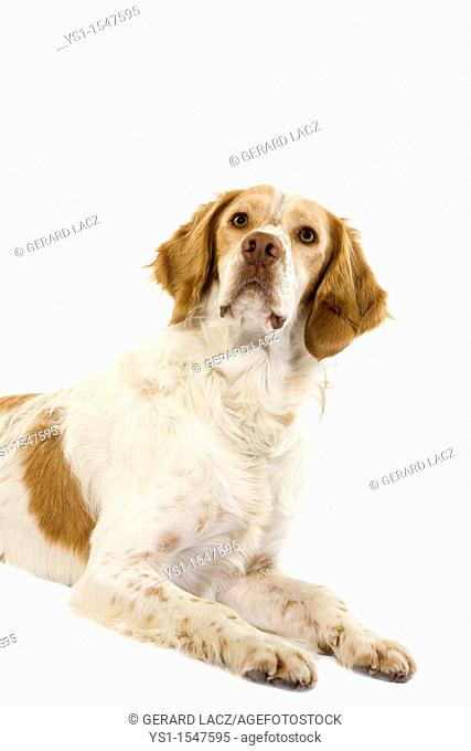French Spaniel Cinnamon Color, Male laying against White Background