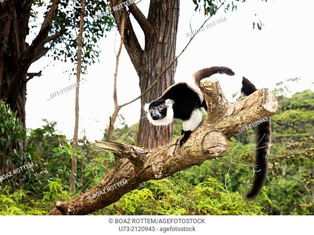A Black & White Ruffed Lemur sitting on a tree
