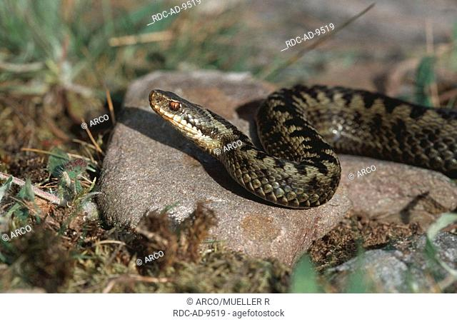 Adder, Common Viper, Scotland, Vipera berus