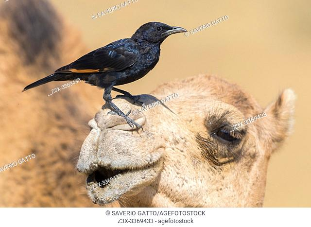 Tristram's Starling (Onychognathus tristramii), side view of a male standing on the head of a Dromedary Camel