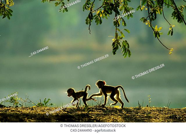 Yellow Baboon (Papio cynocephalus) - Two playful young in the early morning. South Luangwa National Park, Zambia