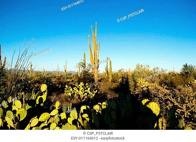 Sunrise on a saguaro forest