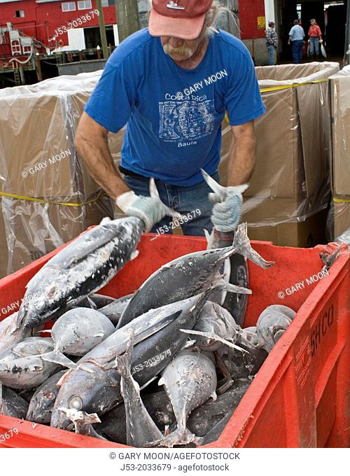 Worker at seafood processing plant sorting and transferring albacore tuna just delivered by commercial fishing boat, Port of Ilwaco, Washington USA