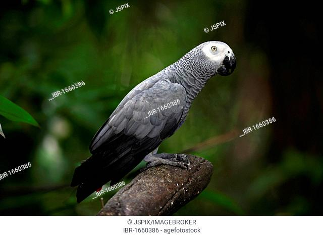 African Grey Parrot (Psittacus erithacus), adult bird in a tree, West Africa, Central Africa