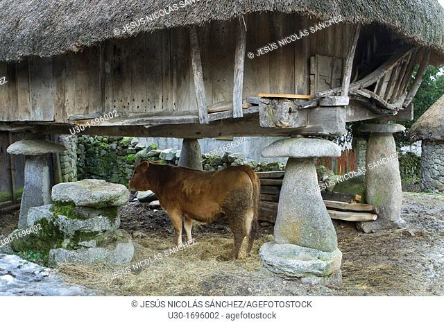 Cow under a typical 'horreo' with vegetal roof rye, in Piornedo village, Sierra de Ancares  Lugo Province, Galicia  Spain