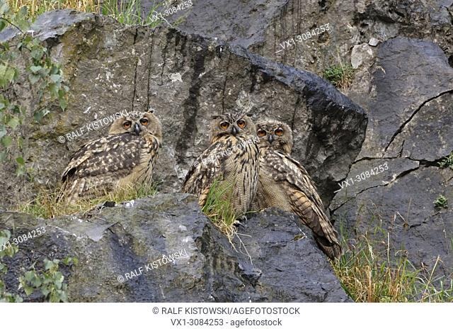 Three grown up siblings of Northern Eagle Owls ( Bubo bubo ) perched together in rocks of an old querry, wildlife, Europe..